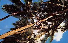 B73467 Trinidad coconuts Antilles
