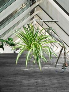 """🍀🍀🍀 Grünlilie ,, Chlorophytum Comosum """" Ampelpflanze - Zimmerpflanze 🍀🍀🍀"""