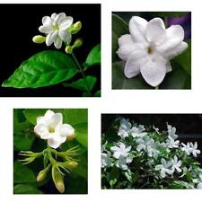 "Jasmine Plant Arabian Tea Maid of Orleans 4""Pot Live Plant Indoor or Outdoor NEW"