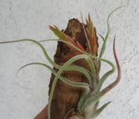 Large  Tillandsia Caput Medusae Air Plants
