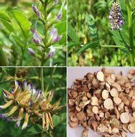 FD4628 Liquorice Licorice (Glycyrrhiza glabra) Seeds 20 Seeds