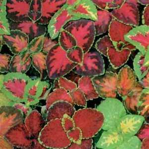 250+COLEUS RAINBOW MIX Flower Seeds Shade Garden Patio Container Houseplant