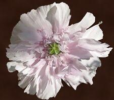 100 SEME RIPIENO Bianco papavero fiori COME pfingsrosen mohnsamen