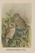 Blewitti tengmalmskauz Glaucidium Noctua ahuri Lithographie 1899 Ornithologie