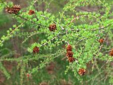 25 EUROPEAN LARCH TREE EVERGREEN PINE Larix Seeds +Gift