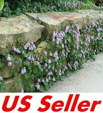 Kenilworth Ivy Seeds T46, 100 Seeds PERENNIAL GROUND COVER