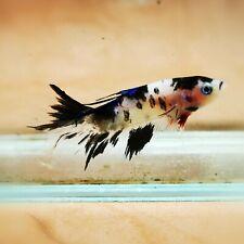 "Live Betta Fish - Female Halfmoon -""Koi Candy Fancy"" Betta High Quality (QAUG12)"