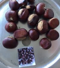 3 Chinese Chestnut Seeds, Edible Nut Tree