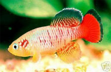 The Tropical Fish Killifish Nothobranchius GUENTHERI RED 30 Eggs Easy Hatch