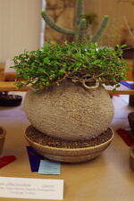 5 Fockea edulis SEEDS semi CAUDEX SUCCULENT PLANT PIANTA GRASSA STAPELIA huernia