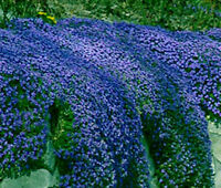 Aubretia Blue Shades Seeds Perennial Shrub Frost Hardy Low Growing Ground Cover