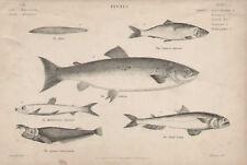 Salmon Common Herring Fetid Saury 1846 Antique Print
