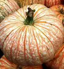 Pumpkin ONE TOO MANY-Pumpkin Seeds-LIKE BLOODSHOT EYES-15 FRESH SEEDS.