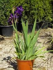 PLANTAS: 3 IRIS GERMANICA