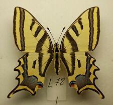 Papilio alexanor orientalis male A1 Armenia