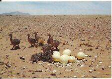 Ostrich Chicks Namibia South Africa Volstraiskuikens Bird Cows Postcard Egg