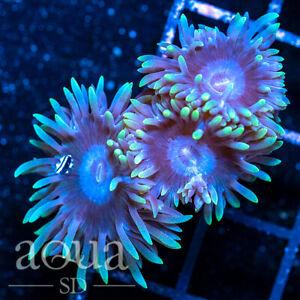 ASD - 004 Iceman Duncan - Aqua SD Live Coral Frag