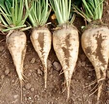 Sugar Beets Sweet White Beet Non-GMO Vegetable Fodder - 5 gr ~180 Treated Seeds