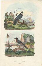 STAMPA ACQUERELLATA_E. GUERIN_ oiseaux _ falco _ faucon _PRIMO OTTOCENTO_PL. 158