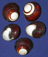 """Helicostya Roissya Land Snail Shell 1-1/2""""~Craft Seashells Supply (6 Shells)."""