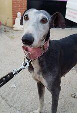Can you please help Juliana the Galgo -Spanish Greyhound at 112 Carlota Galgos?