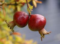 1 PLANT Punica granatum cv NANA melograno nano dwarf pomegranate TREE FRUIT