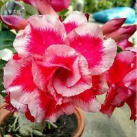 5 Rare White Red Desert Rose Seeds Adenium Obesum Flower Perennial Garden Exotic