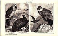 ca 1890 BIRDS BEARDED VULTURE CONDOR Antique Engraving Print