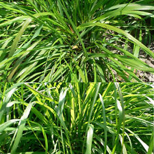 Fragrant 100pcs Lemongrass Herb Lemon Grass Seeds Rich Aroma Garden Decor