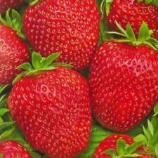 "Strawberry ""Tristar"" Seeds Heirloom Plants Berry Seeds Home Garden Bonsai"