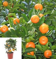 5 Thai Calamondin CITROFORTUNELLA MICROCARPA Minature Fruit Tree Seed Dwarf