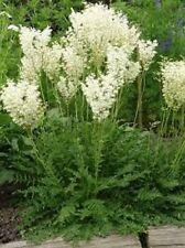 35+ WHITE FLOWERING FERN PERENNIAL FLOWR SEEDS / FILIPENDULA / DEER,RABBIT RESI