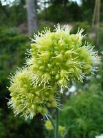 RARE 15 graines d' AIL DE SIBERIE(Allium obliquum)N111 TWISTED LEAF GARLIC SEEDS