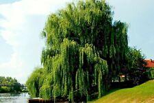 SALIX BABYLONICA 1 pianta alveolo salice piangente ornamentale x laghetti