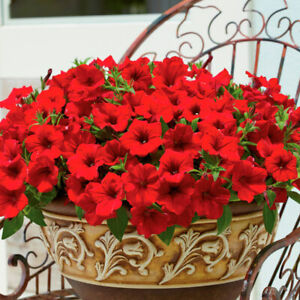 Surfinia Trailing Petunia Deep Red - 3 x large 10cms Strong ready garden plants