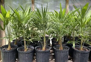 """Cold Hardy Windmill Palms Trachycarpus Fortunei28""""-30"""" $9.85 TOTAL shipping!"""