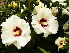 Hibiscus Syriacus Seeds, Scharonrose, Syrischer Marshmallow, Great Flower