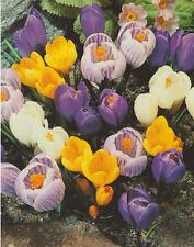10 oder 50 Großblumige Krokusse gemischt Krokus Crocus