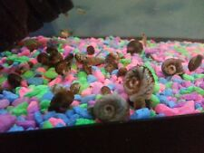 New listing (60) Ramshorn Snails Total - Mixed Sizes and Colors - Fish Tank Snails