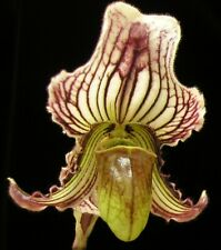 Paph_Fairrieanum_slipper orchid species India distinctive unique color form