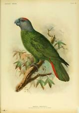 Print.  ca 1906.  Extinct Bird - The Martinique Amazon