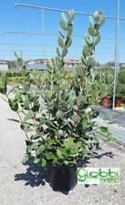 Feijoa Sellowiana - Acca - Feioia - Guava vaso 18 h 40/60cm