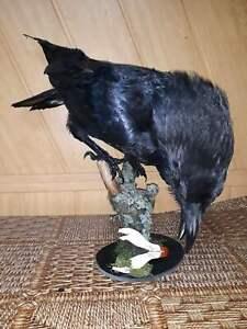 Stuffed raven with skull Taxidermy Bird