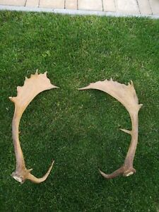 Pair fallow DEER STAG ANTLER TAXIDERMY ARTS AND CRAFTS GALLERY trophy