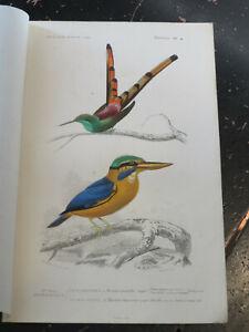 Hummingbird - D' Orbigny D' Histoire Naturelle, published Paris ca:1840