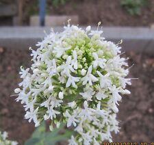 Spornblume, weiß – Centranthus ruber – ca. 40 Samen