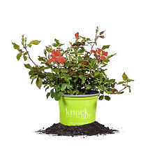 Red Knock Out® Rose, Live Plant, Size: 1 Gallon