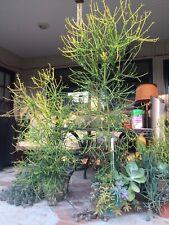 Fifteen 8�-10� Firestick Succulent Cuttings Euphorbia Tirucalli Pencil Cactus