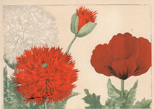 Postkarte: Konan Tanigami - Mohnblüten / 1917