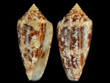 Conus victoriae - Shells from all over the World NEW!!!